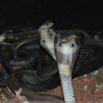 Mơ thấy 2 con rắn hổ mang nên đánh số đề con bao nhiêu chắc ăn?