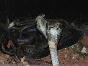 Chiêm bao thấy rắn hổ mang đánh số đề con gì?