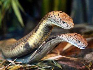 Mơ thấy 2 con rắn hổ mang là điềm báo gì?