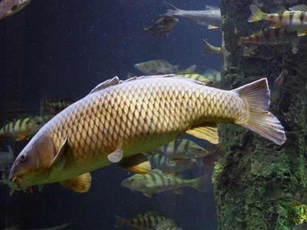 Mơ thấy cá chép là điềm báo gì?