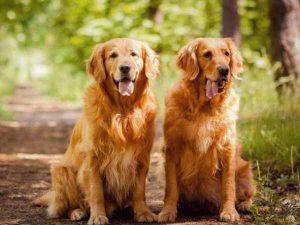 Mơ thấy chó vàng là điềm báo gì?