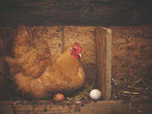 Chiêm bao thấy gà để trứng đánh con gì?