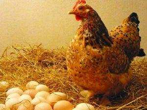 Mơ thấy gà đẻ trứng là điềm báo gì?