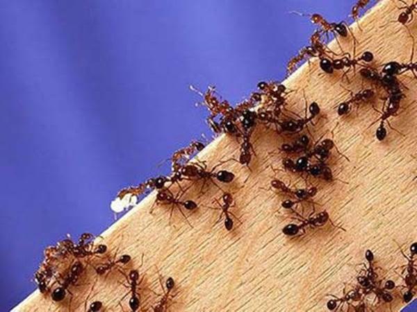 Mơ thấy kiến là điềm báo lành hay dữ?
