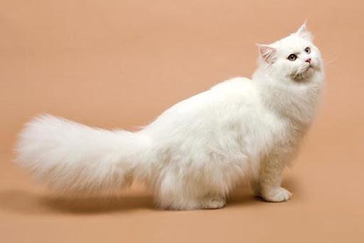 Mơ thấy mèo trắng có điềm gì - Chiêm bao thấy mèo trắng đánh con gì